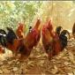 利龙禽业 柴鸡苗价格 柴鸡苗批发场家 正宗柴鸡苗养殖技术