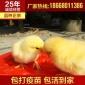 厂家批发 优质温氏矮D鸡苗 放养矮脚黄母鸡鸡苗 优公鸡苗批发